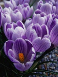 Crocus Flowers Photographic Print by Bill Ross
