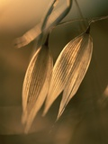 Sunlit Wild Oats Photographic Print by Gary Braasch