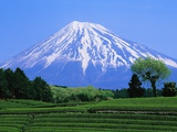 Green Tea Field and Mount Fuji Photographic Print