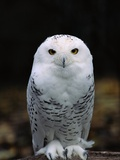 Snowy Owl Fotodruck von Jeff Vanuga