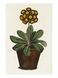 A Pot of Auricula French Print Premium Giclee Print