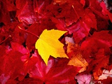 Yellow and Red Maple Leaves Photographic Print by Jack Hollingsworth