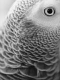 Close-up of Feathers and Eye of an African Grey Parrot Photographic Print by Henry Horenstein