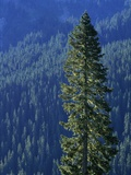 Douglas Fir in Mount Rainier National Park Photographic Print by Paul Souders