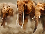 African Elephants Fotografie-Druck von Martin Harvey