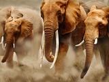 Afrikanske elefanter Fotografiskt tryck av Martin Harvey