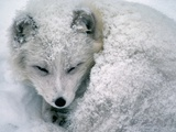 Arctic Fox Sleeping in Snow Photographic Print by Richard Hamilton Smith