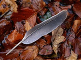 Wood Pigeon Feather Amongst Fallen Leaves Photographic Print by Niall Benvie