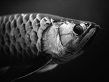 Fish Photographic Print by Henry Horenstein