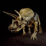 Triceratops Skeleton Photographic Print by Louie Psihoyos