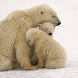 Polar Bear Mother and Cubs Cuddling Photographic Print by Kennan Ward