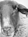 Sheep's Face Photographic Print by Henry Horenstein