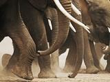 Elephant Herd on the Move Fotografie-Druck von Martin Harvey