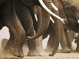 Elephant Herd on the Move Photographic Print by Martin Harvey