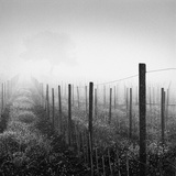 Vineyard at Dawn Photographie par Chip Forelli