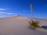 Yucca and Dunes, White Sands National Monument Photographic Print by Kevin Schafer