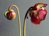 Sarracenia Photographic Print by Clay Perry