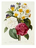 Bouquet of Camellias, Narcissus, and Pansies Premium Giclee Print by Pierre-Joseph Redouté