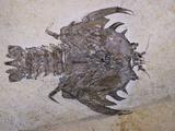 Eryon Arctiformis Crab Fossil Photographic Print by Naturfoto Honal