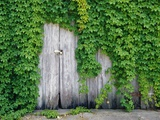 Ivy Covered Barn Door Photographic Print by Richard Cummins