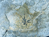 Male Spider Fossil from Messel Site Photographic Print by Jonathan Blair