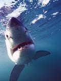 Great White Shark Photographic Print by Stuart Westmorland