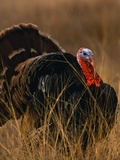Turkey Showing Mating Display Photographic Print by Chase Swift