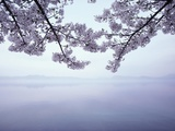 Lake Tazawa and Cherry Blossoms Photographic Print