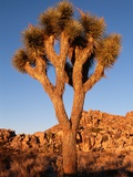 Joshua Tree in Sunlight Photographic Print by Kevin Schafer