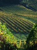 Vineyard in Entre-Deux-Mers Area Photographic Print by Owen Franken