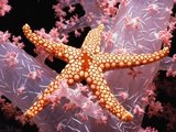 Red Mesh Starfish on Coral Photographie par Jeffrey L. Rotman
