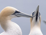 Two Northern Gannets Photographic Print by Niall Benvie