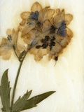 Delphinium Photographic Print by David Roseburg