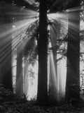 Sunshine in Redwood Forest Photographic Print