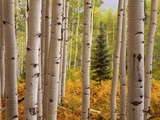 Aspen Forest Photographic Print by William Manning
