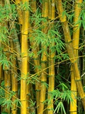 Bamboo Plants Photographic Print by John & Lisa Merrill