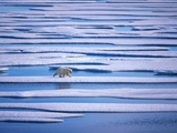Polar Bear on Pack Ice Lámina fotográfica por Hans Strand