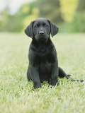 Black Labrador Puppy Photographic Print by Jim Craigmyle