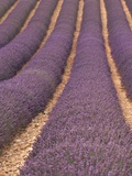 Field of Lavender Photographic Print by Owen Franken