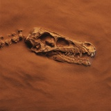 Velociraptor Skull and Neck in Sand Photographic Print by Louie Psihoyos