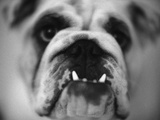Face of a Bulldog Photographic Print by Henry Horenstein
