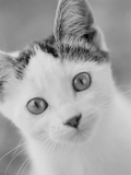 Head of Cat Photographic Print by Henry Horenstein
