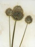 Allium II Reprodukcja zdjęcia autor David Roseburg