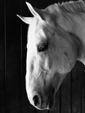 Portrait of a Lipizzaner Horse Photographic Print by Karen Tweedy-Holmes