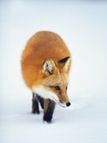 Red Fox in Snow Photographic Print by John Conrad