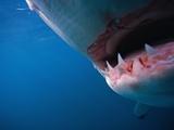 Mouth of Great White Shark Fotografisk tryk af Stuart Westmorland