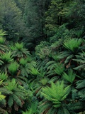 Rain Forest Ferns and Trees Photographic Print by Theo Allofs