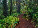 Trail Through Redwood Trees Photographic Print by Darrell Gulin