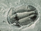 Trilobite Fossil Photographic Print by Tom Bean