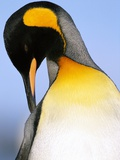 King Penguin Grooming Itself Photographic Print by Paul Souders